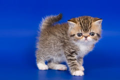Exotic kitten. On blue background Stock Images