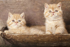 Exotic kittens royalty free stock images