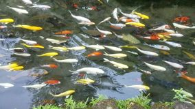 Exotic Koi fish bank. Bank of exotic Koi fish swimming in an ornamental pond stock footage