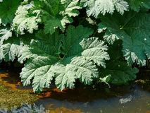 Exotic large leafed plant Gunnera Manicata known as Brazilian gi. Ant-rhubarb in a beautiful tropical garden stock photos