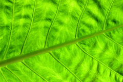 Exotic leaf close up Royalty Free Stock Photography