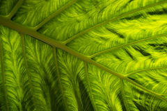 Exotic leaf in detail Royalty Free Stock Image