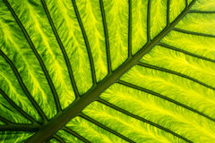 Exotic leaf in detail Royalty Free Stock Images