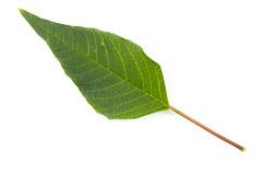 Exotic leaf Royalty Free Stock Image