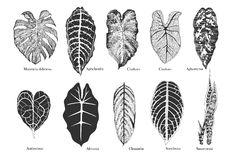 Exotic leaves vector set. Black and white. Stock Photo