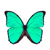 Exotic light green butterfly isolated on white background, the b Stock Photos