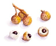 Litchi fruit - watercolor. Exotic litchi fruit - watercolor painted art, food illustration Royalty Free Stock Images
