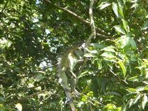 Exotic Iguana Stock Image