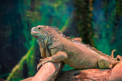 Exotic lizard iguana on a branch Stock Photo