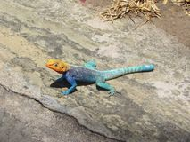exotic lizard Stock Image