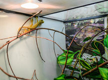 Exotic lizard in the terrarium. Exotic lizard in a terrarium. Lizard sits on the glass. Terrarium with a beautiful reptile. Exotic animal in the cage royalty free stock image