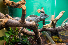 Exotic lizard in the terrarium. Lizard sitting on a branch. Terrarium with beautiful lizards. Pets exotic Pets, reptiles. Blue lizard Stock Photos