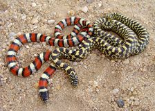 Exotic looking snakes, two species of King Snake Royalty Free Stock Photos