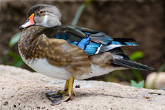 Exotic mandarin duck Royalty Free Stock Photography