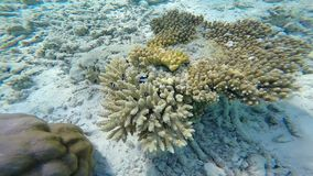 Exotic marine life near Maldives island. Tropical summer vacation concept stock video footage