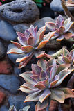 Exotic Maui Succulent Plants. A close up shot of beautful succulent plants on the island of Maui, Hawaii Royalty Free Stock Photography