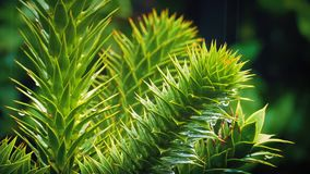 Exotic Monkey Puzzle Tree In The Rain stock video footage