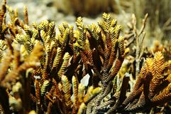 Exotic moss in Cordilleras mountain Stock Photo