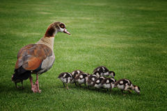 Exotic mother duck with babies. A picture of a exotic mother duck with her babies Royalty Free Stock Photography
