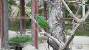 Exotic motley parrot climbs on the branch of the tree in tropical garden, asian birds, fauna of the tropical forest. Exotic motley parrot climbs on the branch of stock footage