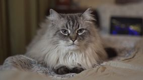 Exotic Neva Masquerade Siberian cat with blue eyes face close up - Relaxing at home with a tablet showing vlogger`s stock video footage