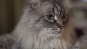Exotic Neva Masquerade Siberian cat with blue eyes face close up - Relaxing at home with a tablet showing vlogger`s stock video