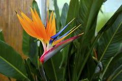 Exotic orange flower. Tropical Bird of Paradise flower (Strelitzia) in a greenhouse Royalty Free Stock Photos
