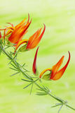 Exotic orange flower Royalty Free Stock Photo