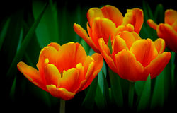 Exotic orange and yellow tipped tulips Stock Photo