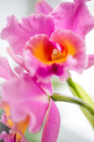 Exotic Orchid closeup. Exotic Orchid pale violet color with a yellow middle closeup Royalty Free Stock Photo