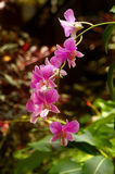 Exotic Orchid cultivation in botanic garden stock photos