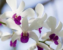 Exotic orchids Royalty Free Stock Images