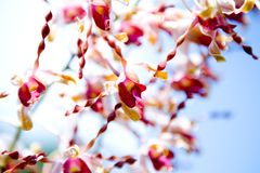 Exotic orchids with spiral petals. Stock Photography