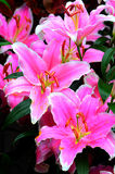 Exotic oriental lilies Stock Photography