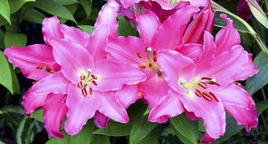 Exotic oriental lilies Royalty Free Stock Photo