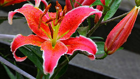 Exotic oriental lily and bud Stock Images