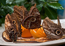 Exotic Owl Butterflies Feeding on Fruit Royalty Free Stock Photos