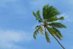 Exotic palm tree Stock Images