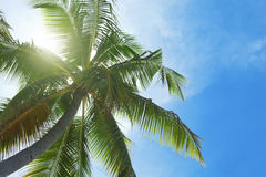 Exotic palm tree Stock Photography