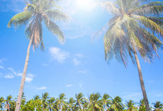 Exotic palm tree on tropical island. Sun flare on blue sky background. Summer vacation banner template. Fluffy palm tree with green leaves. Coconut palms under Royalty Free Stock Images