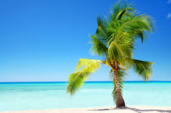 Exotic palm tree in tropical Saona Island. Beautiful beach and palm tree Saona island, Dominican Republic Royalty Free Stock Photo