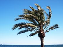 Exotic palm tree on a windy day. A shot of a palm tree on a sunny day Stock Photography