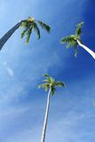 Exotic palm trees Royalty Free Stock Photos