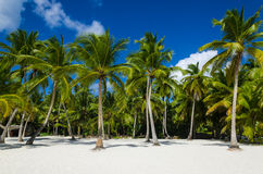 Exotic palms forest and sunny sand on beach. Exotic palms forest on Dominican Republic, Caribbean Islands Royalty Free Stock Photo