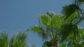 Part of green palm trees against a blue sky in the tropics. Exotic palms swing in the wind against the blue sky on a hot day stock video
