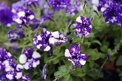 Beautiful, Unique Purple Pansy Flowers with White Dots. Exotic pansy flowers photographed in Madeira. These pansies have bicolored flowers with white and purple stock image
