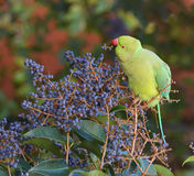 Exotic parrot nutrition Royalty Free Stock Photography