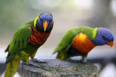 Exotic Parrots. Colorful exotic Parrots in full beauty Stock Images