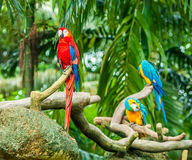 Exotic parrots Royalty Free Stock Image