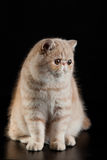 Exotic Persian cat with big beautiful eyes on black background Stock Images
